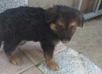 میکس ژرمن سگ گرگ  در شیپور-عکس کوچک