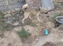 یک جفت سگ جوان در شیپور-عکس کوچک