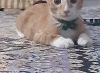 گربه نر 3 ماهه در شیپور-عکس کوچک