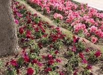 گل کاری چمن کاری حرص  در شیپور-عکس کوچک