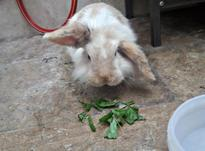 خرگوش لوپ هلندی در شیپور-عکس کوچک