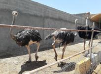 فروش شتر مرغ در شیپور-عکس کوچک