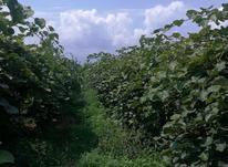 ۸۰۰۰ متر زمین بافت باغات  در شیپور-عکس کوچک