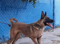 سگ مالینویز ماده در شیپور-عکس کوچک