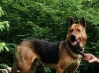 سگ. ژرمن نر  در شیپور-عکس کوچک