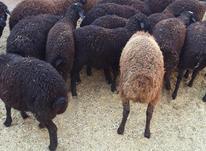 برہ نرہ فروشی میانگین 35کیلو در شیپور-عکس کوچک