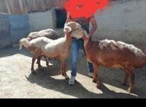 سه عدد گوسفند چینی اصیل ناب  در شیپور-عکس کوچک