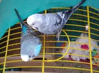 مرغ عشق دستی در شیپور-عکس کوچک