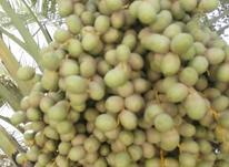 سمپاشی درخت خرما و آفت گیاهان باغچه در شیپور-عکس کوچک
