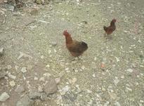 5عدد مرغ محلی شمالی تخم کن در شیپور-عکس کوچک
