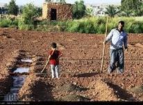 کارگر روزمزدی کشاورزی در شیپور-عکس کوچک