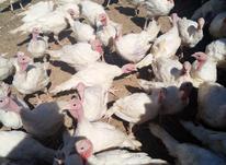 بوقلمون بیوتی 6 کشتاری ارگانیک در شیپور-عکس کوچک
