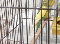 مرغ عشق ماده جوان در شیپور-عکس کوچک