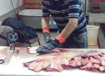 شراکت در فروش ماهی شمال (گیلان) در شیپور-عکس کوچک