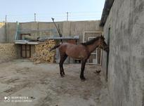 اسب کرد. کره در شیپور-عکس کوچک