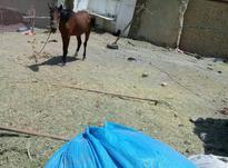 کره اسب 15ماهه در شیپور-عکس کوچک