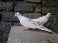 یاکریم سفید کاکلی در شیپور-عکس کوچک