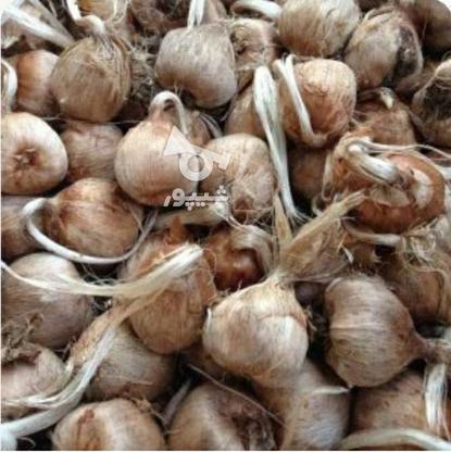 پیاز زعفران با کیفیت بسیار بالا در گروه خرید و فروش خدمات و کسب و کار در مازندران در شیپور-عکس1