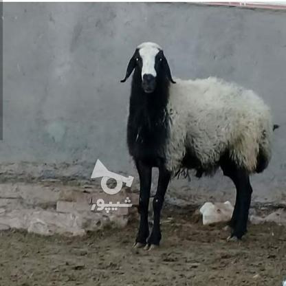 گوسفند اصیل شال در گروه خرید و فروش ورزش فرهنگ فراغت در قزوین در شیپور-عکس1