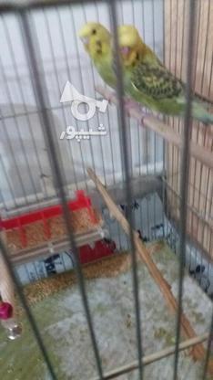 یک جفت مرغ عشق گریدc انگلیسی  در گروه خرید و فروش ورزش فرهنگ فراغت در البرز در شیپور-عکس1