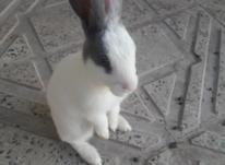 فروش بچه خرگوش در شیپور-عکس کوچک