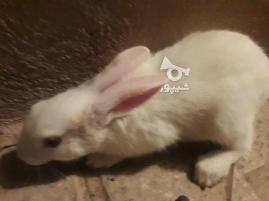 فروش بچه خرگوش در گروه خرید و فروش ورزش فرهنگ فراغت در زنجان در شیپور-عکس1