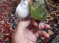 مرغ عشق دستی بامزه در شیپور-عکس کوچک