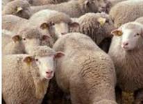 قصاب وذبح گوسفند وگوساله .مجانی در شیپور-عکس کوچک