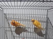 فروش قناری رسمی  نر وماده در شیپور-عکس کوچک