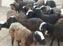 گوسفند اصیل نژاد شال  در شیپور-عکس کوچک