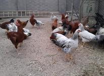 خروس و مرغ جوان در شیپور-عکس کوچک