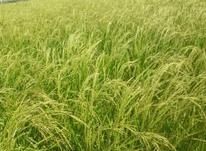 فروش زمین کشاورزی 7000 متر جاده دریا  در شیپور-عکس کوچک