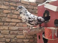 کبوتر بلژیکی اغون کله سرخ سوسکی پشت سار و سار تهرونی در شیپور-عکس کوچک