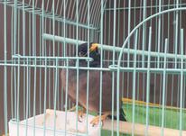 مرغ میناسخنگو باقفس در شیپور-عکس کوچک