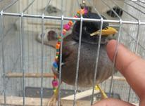 مرغ مینا بازیگوش  در شیپور-عکس کوچک
