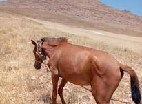 کره اسب مادیان  در شیپور-عکس کوچک