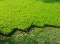 فروش نشا برنج در شیپور-عکس کوچک
