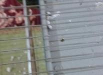یک جفت مرغ عشق انگلیسی گرید c در شیپور-عکس کوچک
