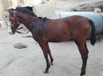 کره اسب نریان در شیپور-عکس کوچک