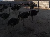شتر مرغ 4 تا 5 ماه در شیپور-عکس کوچک