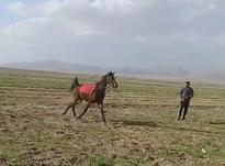 کره اسب کرد در شیپور-عکس کوچک