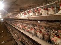 قفس مرغ تخمگذار  در شیپور-عکس کوچک
