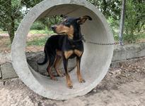 سگ دوبرمن ماده در شیپور-عکس کوچک