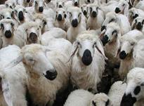 دوره پرواربندی گوسفند و بره فرصت سودآوری در شیپور-عکس کوچک