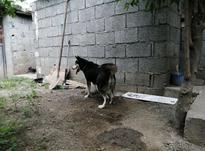سگ هاسکی مادر و دختر  در شیپور-عکس کوچک