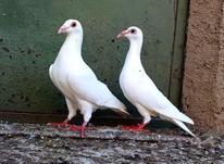 کبوترهای فروشی در شیپور-عکس کوچک