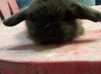 خرگوش لوپ اصیل در شیپور-عکس کوچک