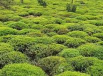 فروش چای سیاه وچای سبز به صورت عمده  در شیپور-عکس کوچک