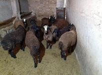 فروش 10راس گوسفند نر برای قربانی وزن 30و35 کیلو در شیپور-عکس کوچک