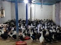 اردک اصیل پکنی ورامینی در شیپور-عکس کوچک